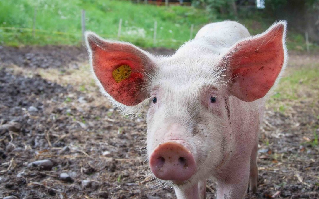 Advisers, Pigs and Early Birds